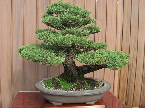 注文 日本盆栽